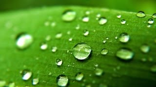 The simple act of water droplets landing on a leaf causes an elaborate response inside of plants, scientists at The University of Western Australia have found.  A similar reaction is seen when plants