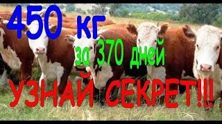 откорм бычка  450 кг за 370 дней как выкормить быка
