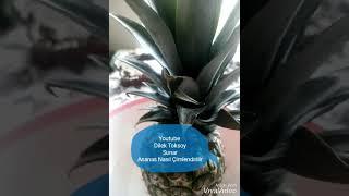 Ananas Nasıl Çimlendirilir Sizin de evde yetistirdiğiniz bir ananasınız neden olmasın 👍