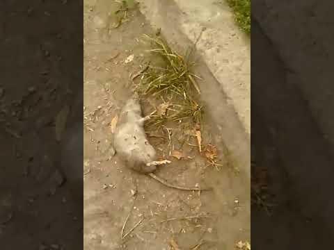 Убитая мыш в сухом логу