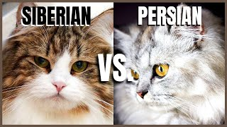 Siberian Cat VS. Persian Cat