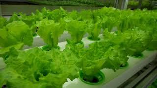 늘푸른채 수경재배 스마트팜 식물공장입니다