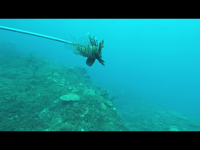 LIONFISH HUNTING WITH FRIENDS - JAMAICA