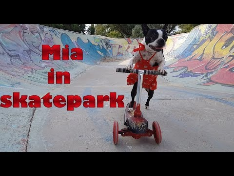 Dog rides the scooter in skatepark
