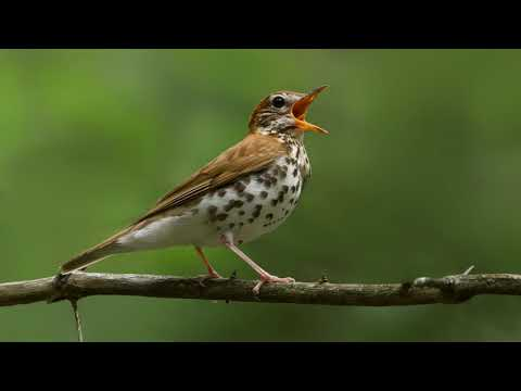 Bird Chirp Notification Sound | Free Ringtone Downloads