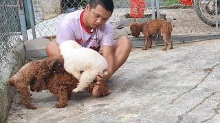 lấy giống 2 chú chó p๐odle đến kì sinh sản | chăm sóc chó sinh sản