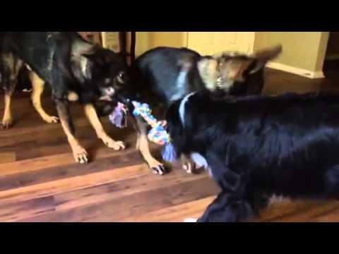 Australian Shepherds vs German Shepherds tug-of-war