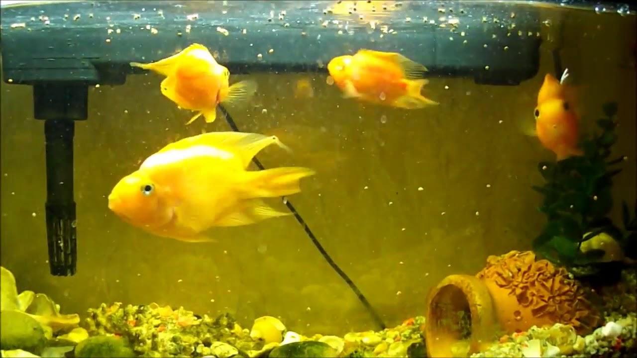 Рыбка попугай в аквариуме. Кормление