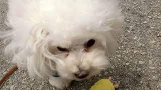 犬の幼稚園 バニラちゃんとトレーニング thumbnail