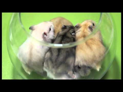 Домашние грызуны: как проходит жизнь грызунов?