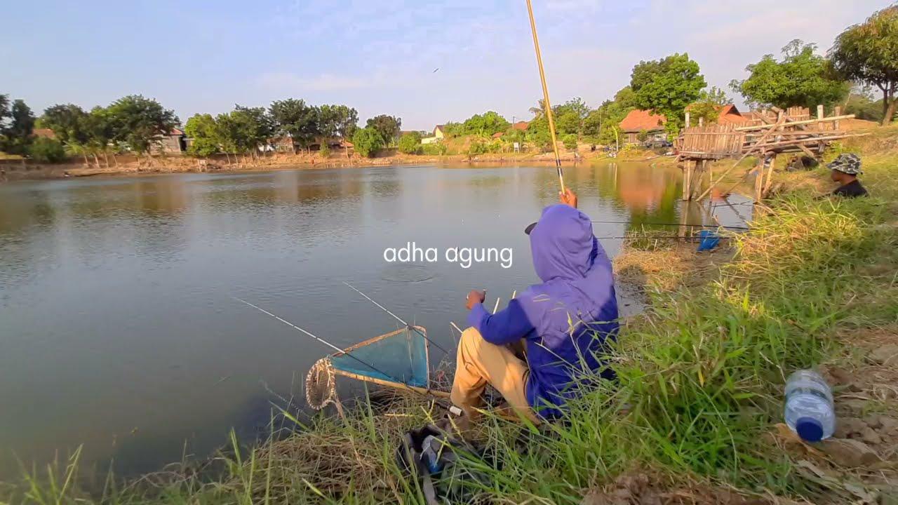 Makin sore, Sambaran ikan nila makin banyak (mancing ikan di kolam air hijau)