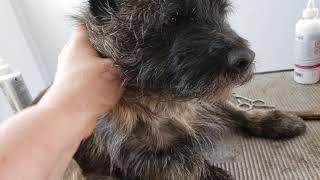Cairn terrier grooming  true HARD coat