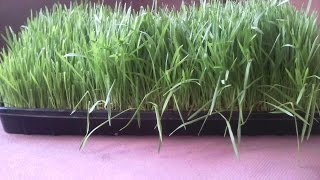 Выращивание зеленого корма. 8-10 дни. Зеленый Гидропонный Корм.(Завершение выращивания зеленого корма для домашней птицы и животных. Мы целый год обеспечиваем своих питом..., 2014-10-07T09:49:41.000Z)