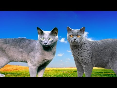 Russian Blue Cat Vs British Shorthair - Differences Explained