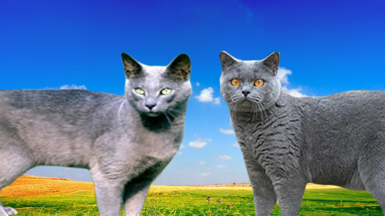 Russian Blue Cat Vs British Shorthair Differences Explained Youtube