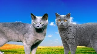 Russian Blue Cat vs British Shorthair  Differences Explained