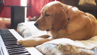 dog doesn't play piano