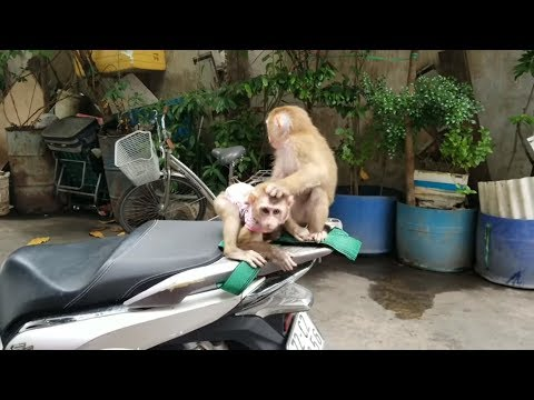 Monkey Baby Nui | NUI Monkey comes to Monkey PON's house to play. Two children playing in the wild a