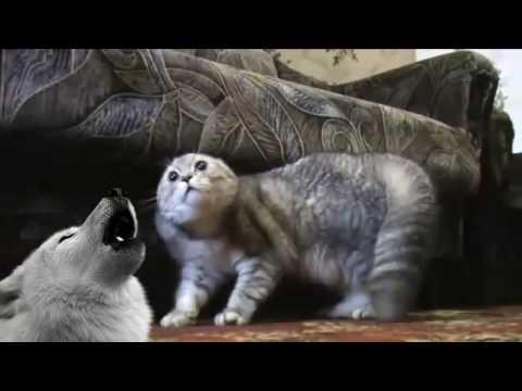 SUPER LUCU Video Kucing Mengatakan NO NO NO