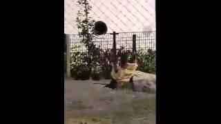 Бегемоты помогли утенку выбраться из бассейна(В зоопарке маленький утенок никак не мог выбраться из бассейна и страшно переживал. На помощь ему пришли......, 2015-06-17T18:21:04.000Z)