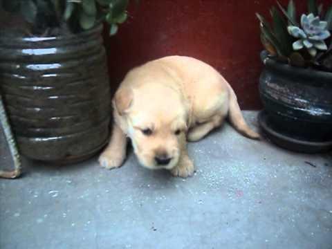 Vendo Cachorros Golden Retriever C Labrador Youtube