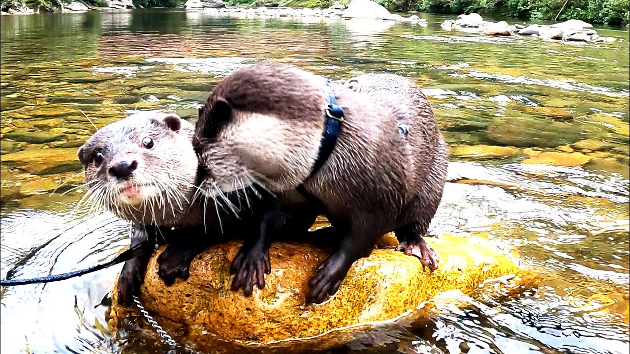 Otter Ui finally takes the lead and starts swimming in the river! [Otter life Day 572]