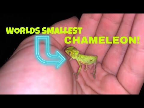 I FOUND the WORLDS SMALLEST CHAMELEON !
