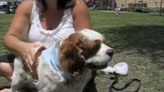Max The Cavalier King Charles Spaniel Up For Adoption