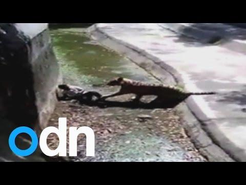 White tiger kills student at New Delhi zoo