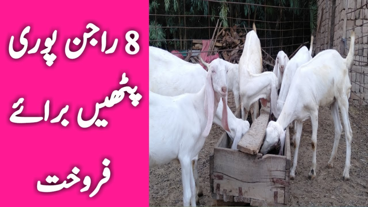 Rajanpuri Goat babies for sale || rajanpuri Goat Farming || Goat Farming  Business very profitable