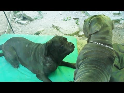 Neo Dad and Neapolitan Mastiff Mum Cleo Play like Teenagers!