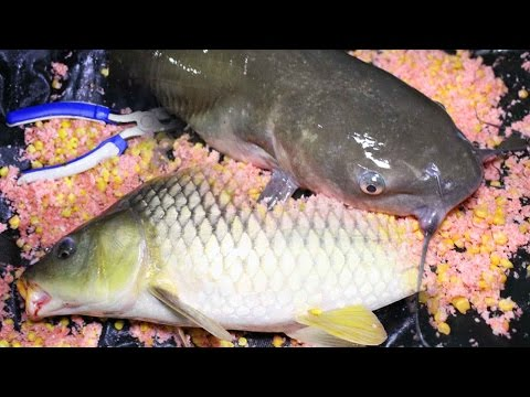 Catfish And Carp Bait Recipe - Fishing For Carp And Catfish