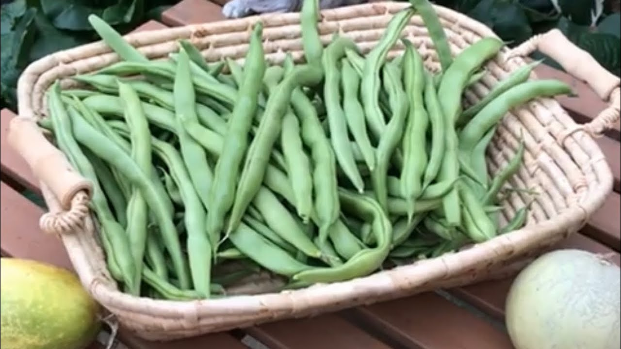 Growing Pole Beans In Containers Youtube