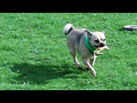 Chug dog Bridie.