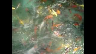 Koi for Sale at Farm Prices only at Ardyam Koi Farm