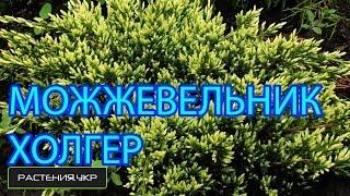 Можжевельник чешуйчатый Холгер / Можжевельник посадка и уход / хвойные растения(, 2015-05-03T14:48:01.000Z)