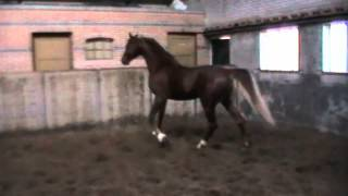 Saddlebred stallion Dutch Design