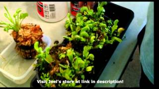 Growth Cycle of the Venus Flytrap