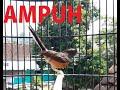 Murai Betina Gacor Memanggil Pejantan Untuk Pancingan Murai Macet Bunyi  Mp3 - Mp4 Download