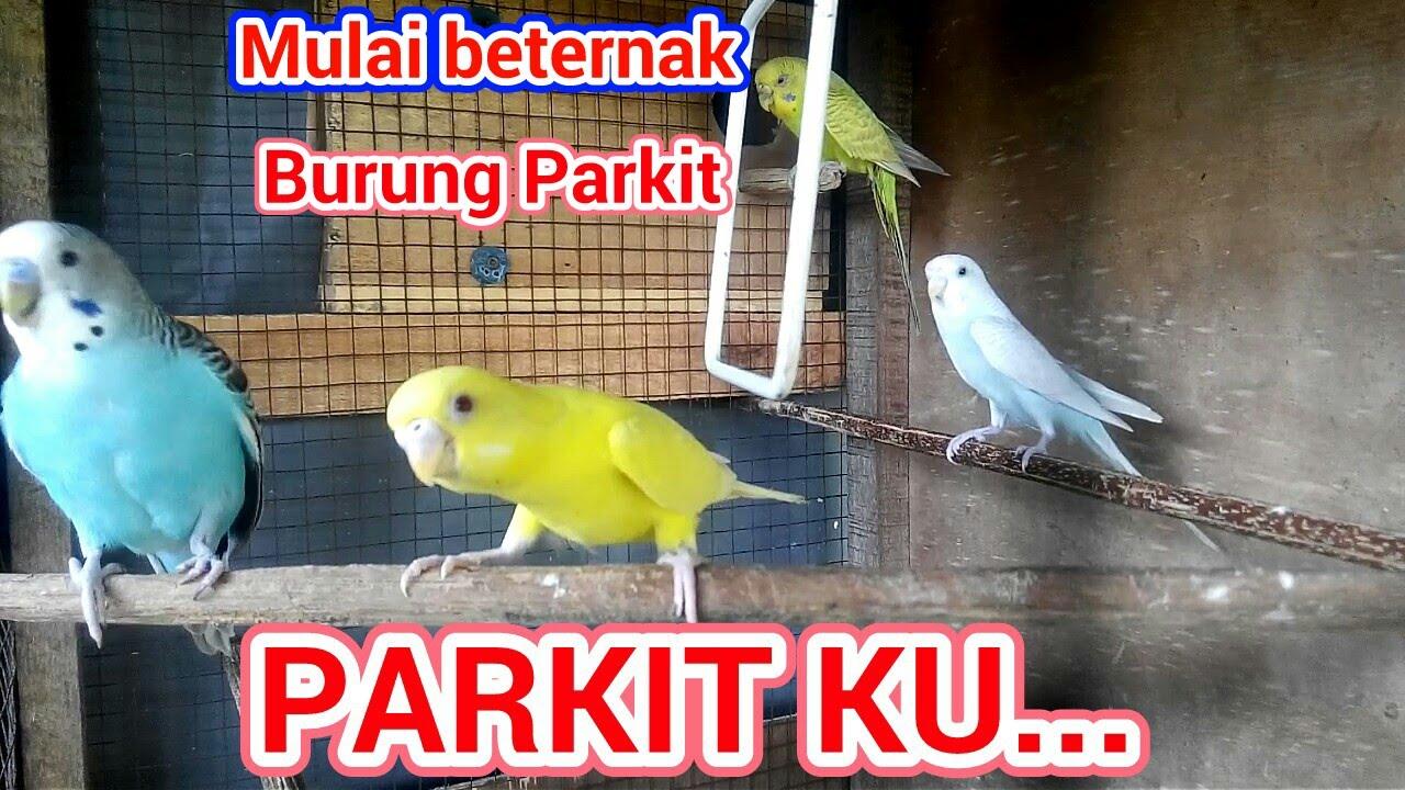 Terbukti Cara Termudah Belajar Ternak Parkit Dengan Sistem Koloni Parakeet Budgie Farm Youtube