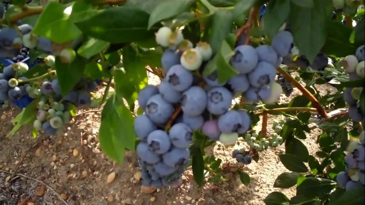 زراعة فاكهة البلوبيري لاصحاب الاراضي فاكهة غالية Youtube