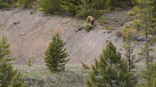 BEAR vs MTN LION - Crazy Mountain Lion Encounter