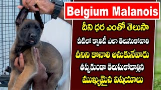 Belgium Malanois Complete Information Include Price and Maintenance   Danny Kennels   Playeven