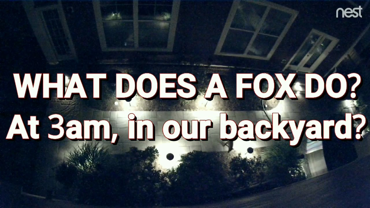 what-does-the-fox-do-3am