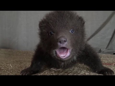 Cute Baby Bears rescue and release (piccoli Orsi salvati)