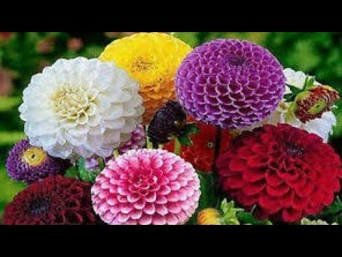 Dahlia Meaning In Tamil Best Flower Wallpaper However, their tuberous nature enables them to survive periods of dormancy, and this characteristic means that gardeners in temperate climates with frosts can grow dahlias successfully. dahlia meaning in tamil best flower