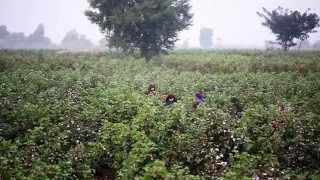 Making cotton production sustainable