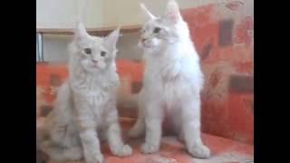 Питомник мейн-кунов Kunarmy, свободные котята
