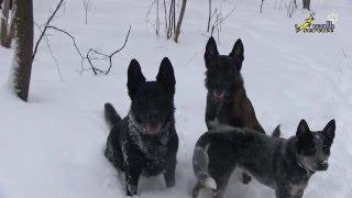 Два кобеля и течная сука, управление поведением, дрессировка собак