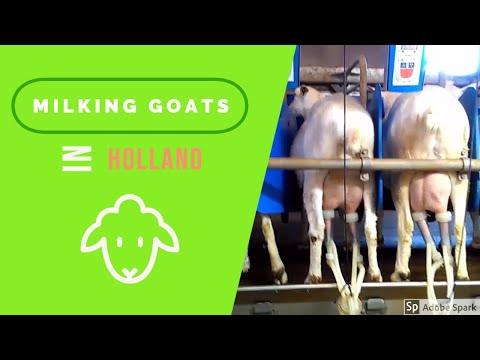 Milking Goats  Goat Farm In Holland
